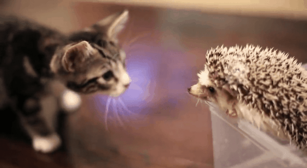 Wie die Katze den Igel traf
