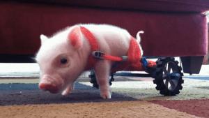 Das Teacup-Schweinchen mit nur zwei Beinen | Mädchenkram | Was is hier eigentlich los? | wihel.de