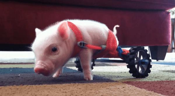Das Teacup-Schweinchen mit nur zwei Beinen