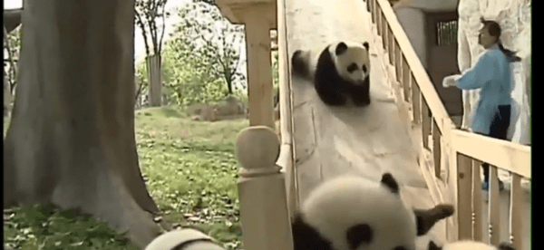 Pandas auf der Rutsche