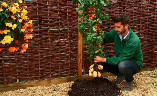 die-zukunft-hat-begonnen-eine-pflanze-mit-tomaten-und-kartoffeln