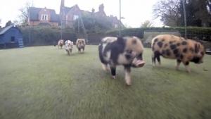 Nur ein paar Mini-Schweine, die durch die Gegend rennen | Mädchenkram | Was is hier eigentlich los? | wihel.de