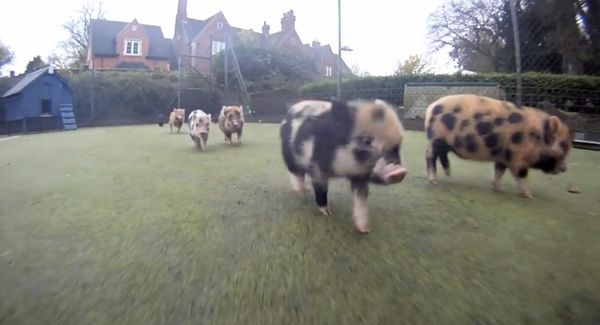 Nur ein paar Mini-Schweine, die durch die Gegend rennen