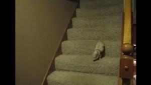Minischwein vs. Treppe | Mädchenkram | Was is hier eigentlich los? | wihel.de