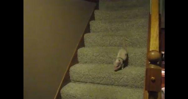 minischwein-vs-treppe