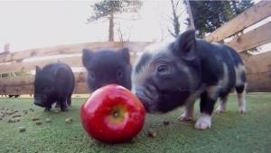 Minischweine, die einen Apfel fressen | Mädchenkram | Was is hier eigentlich los? | wihel.de