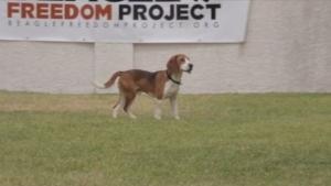 Das Beagle Freedom Project: Beagle das erste mal in Freiheit | Mädchenkram | Was is hier eigentlich los? | wihel.de