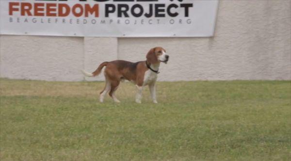 das-beagle-freedom-project-beagle-das-erste-mal-in-freiheit
