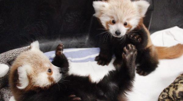 Nur zwei Panda-Babies