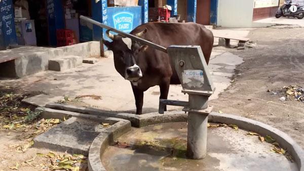 Schlaue Kühe - Nahrungskette muss neu überdacht werden | Lustiges | Was is hier eigentlich los?