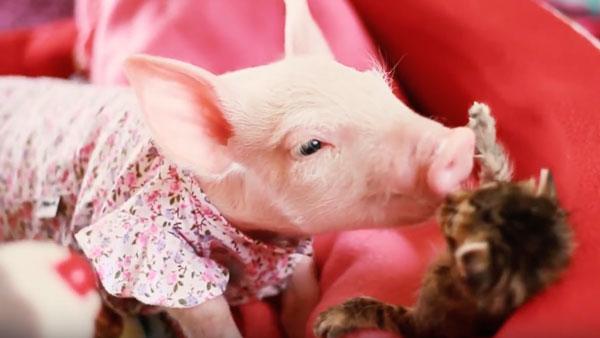 Nur ein Schweinchen, dass mit einem Kätzchen kuschelt