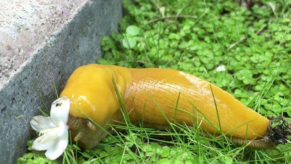 Eine Bananenschnecke, die eine Blume frisst | Was gelernt | Was is hier eigentlich los?