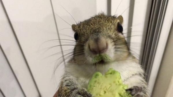Ein Avocado liebendes Eichhörnchen | Lustiges | Was is hier eigentlich los? | wihel.de