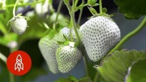 In Japan züchtet Yasuhito Teshima weiße Erdbeeren | Was gelernt | Was is hier eigentlich los? | wihel.de