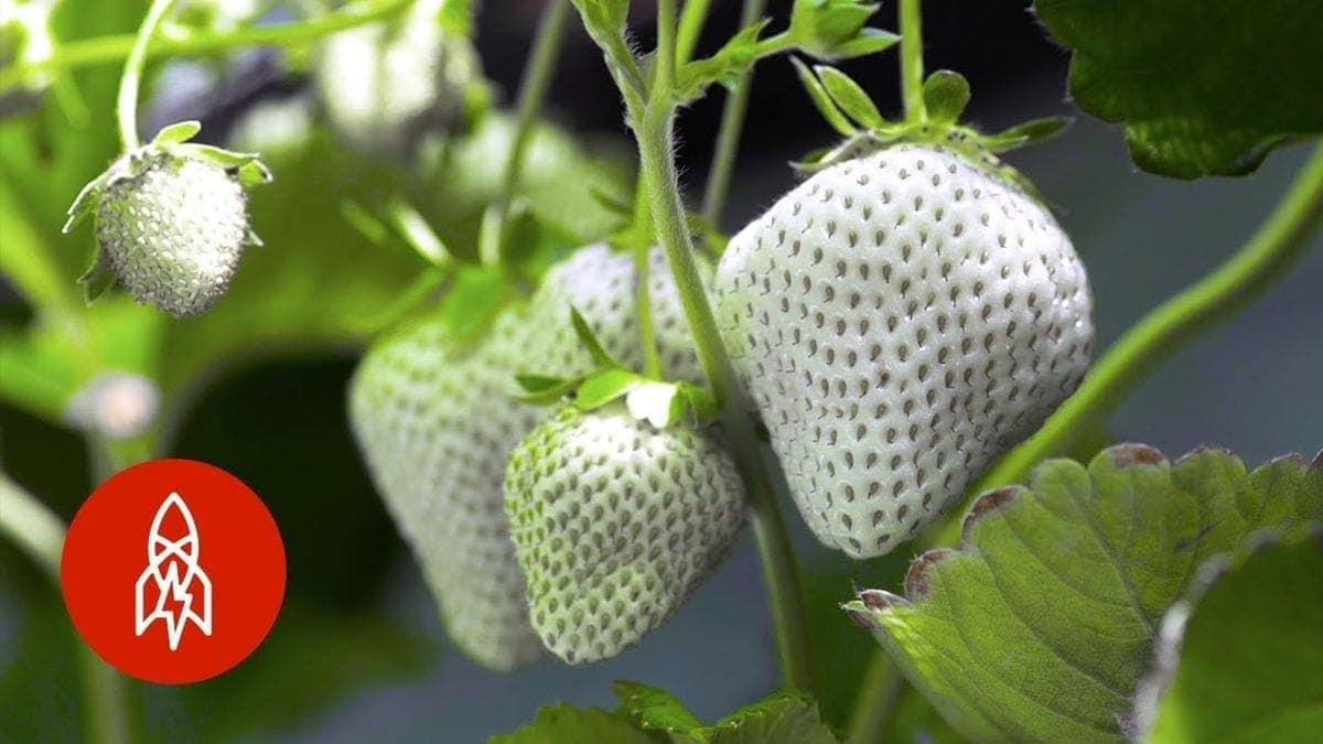In Japan züchtet Yasuhito Teshima weiße Erdbeeren | Was gelernt | Was is hier eigentlich los?