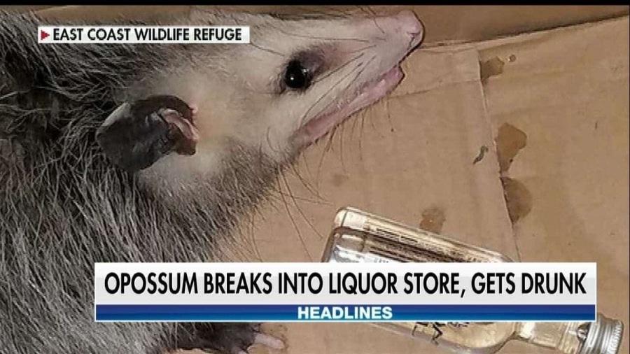 Auch Opossums wollen sich mal richtig einen hinter die Binde kippen | Lustiges | Was is hier eigentlich los?