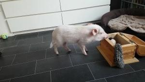 Nur ein kleines Schweinchen, das aufräumt | Mädchenkram | Was is hier eigentlich los? | wihel.de