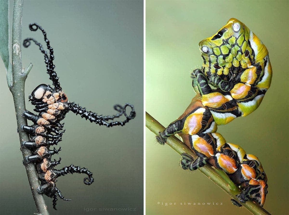 Interesting caterpillars photographed by Igor Siwanowicz | Photography | What's going on here anyway?