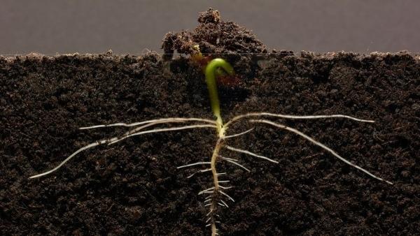 Eine Bohnenpflanze beim Wachsen zusehen | Was gelernt | Was is hier eigentlich los? | wihel.de