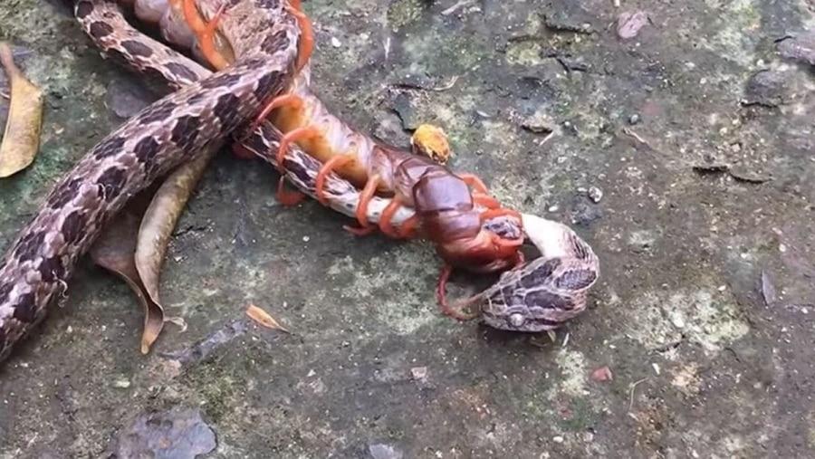 Nature U Scary: Ein Kampf zwischen Schlange und Tausendfüßer | WTF | Was is hier eigentlich los?