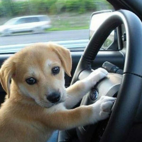 Die ultimative Lösung, wenn du betrunken von der Polizei angehalten wirst: Setz deinen Hund ans Steuer   Lustiges   Was is hier eigentlich los?   wihel.de