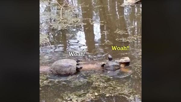 Zwei Schildkröten und ein Baumstamm | Lustiges | Was is hier eigentlich los? | wihel.de
