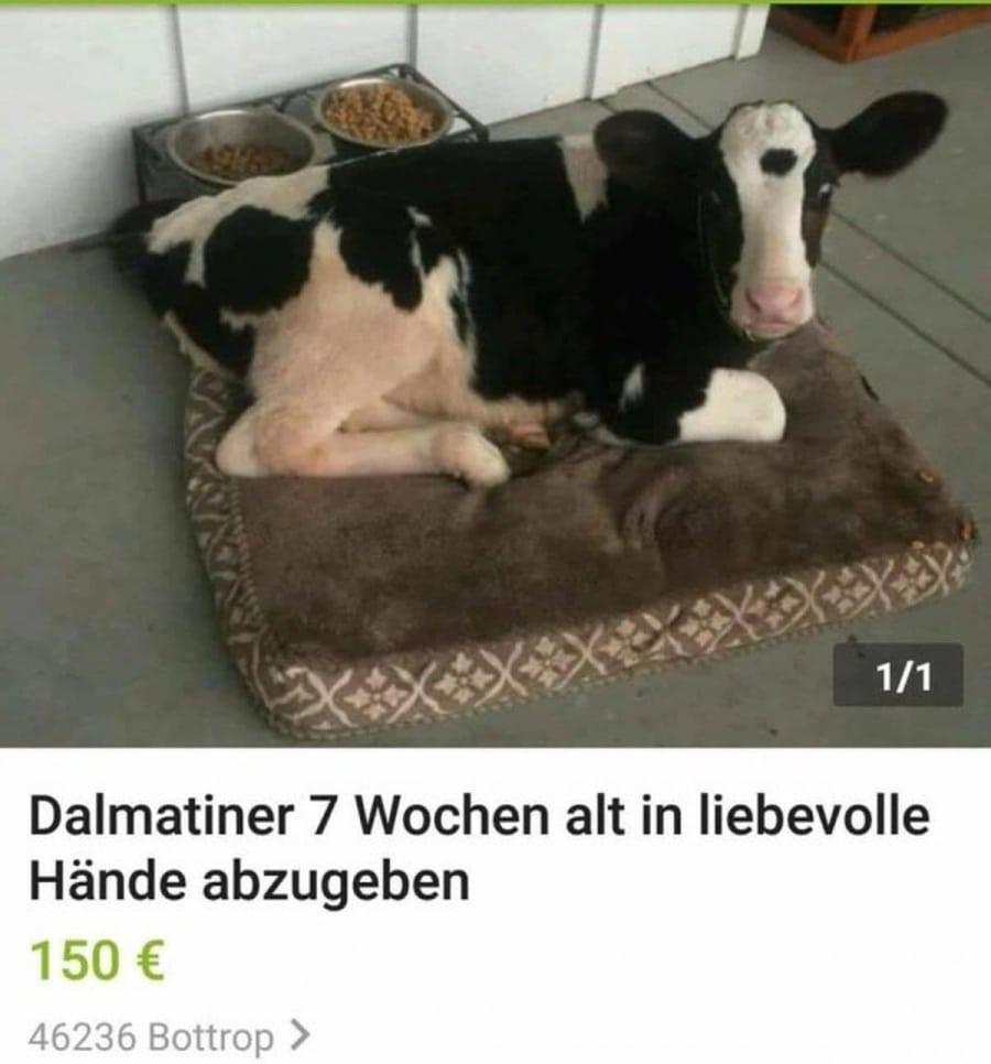 Dalmatiner zu verkaufen - Kann sogar Milch geben! | Lustiges | Was is hier eigentlich los?