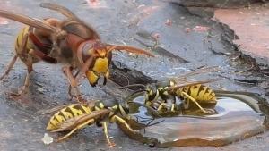 Der Kampf zwischen Wespen und einer Hornisse | Awesome | Was is hier eigentlich los?