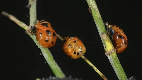 Die Geburt eines Marienkäfers | Was gelernt | Was is hier eigentlich los? | wihel.de