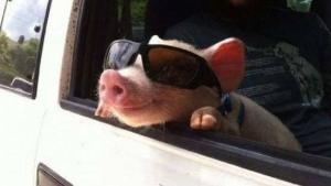 Nur ein Montagsschwein | Lustiges | Was is hier eigentlich los?