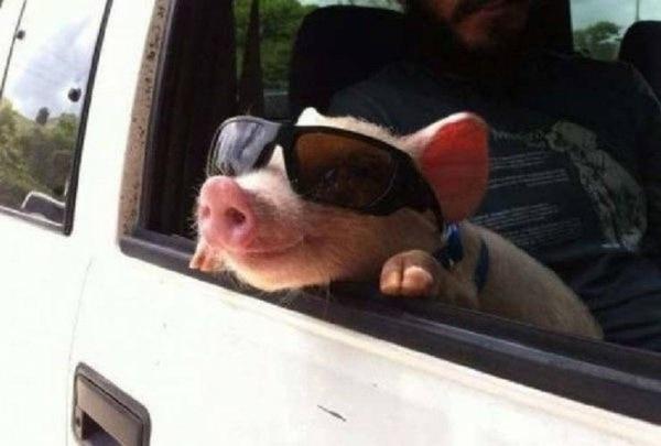Nur ein Montagsschwein | Lustiges | Was is hier eigentlich los? | wihel.de