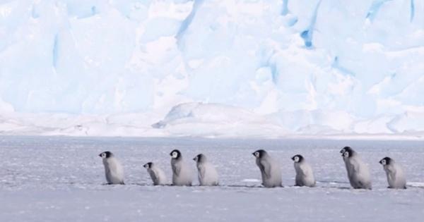 Nur eine kleine Baby-Pinguin-Kolonne | Lustiges | Was is hier eigentlich los? | wihel.de