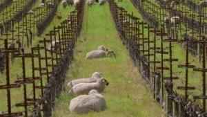 4 Stunden Schafe beim Schaf-Sein zuschauen | Awesome | Was is hier eigentlich los?