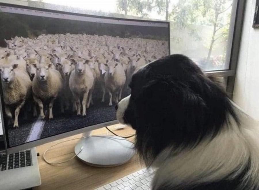 Wenn selbst Schäferhunde Homeoffice machen ... | Lustiges | Was is hier eigentlich los?