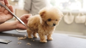 Nur ein sehr kleiner Hund, der seinen ersten Haarschnitt bekommt | Awesome | Was is hier eigentlich los?